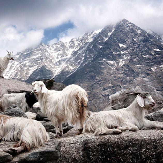 cashmere-goats-philipp-sidler